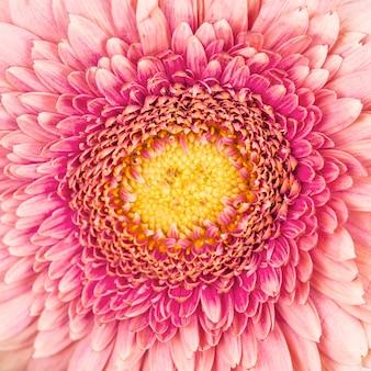 Tiro macro do contexto de flor gerbera rosa