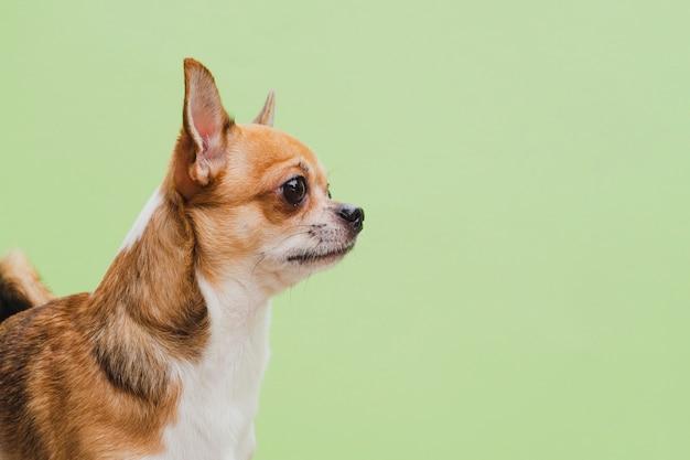Tiro médio do cachorro chihuahua sobre fundo verde