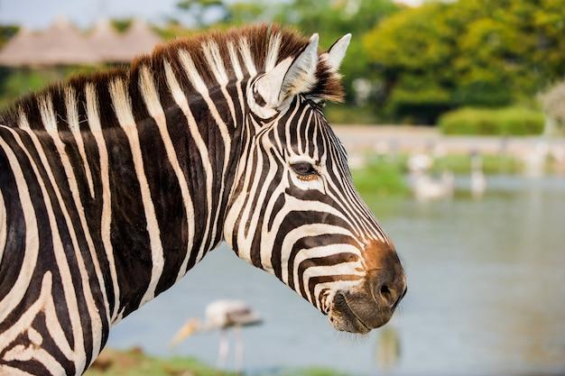 Tiro na cabeça da zebra no parque zafari