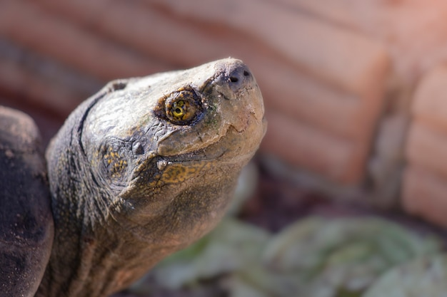 Tiro na cabeça de uma tartaruga grande