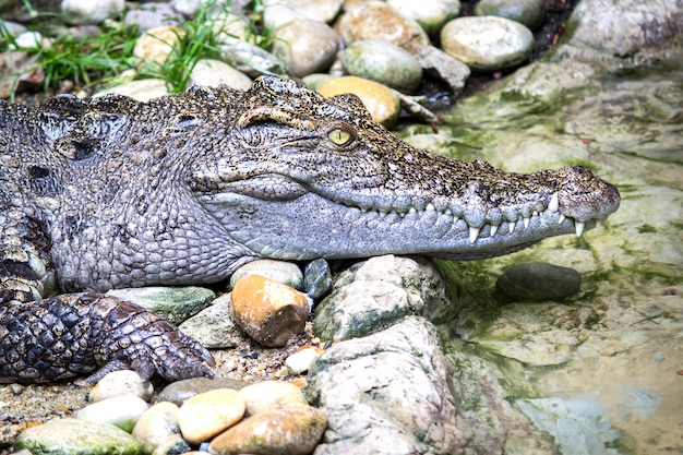 Tiro na cabeça do crocodilo siamês