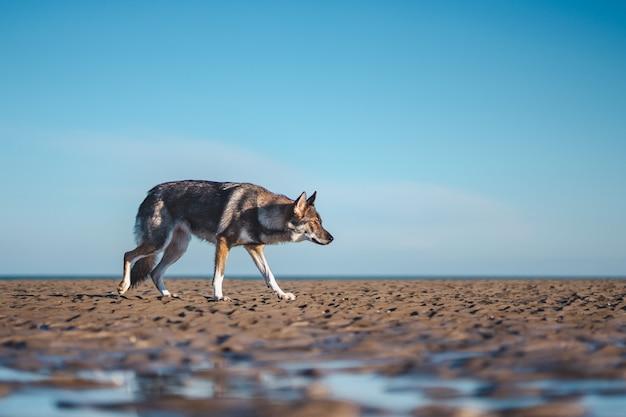 Tiro seletivo amplo de um cão-lobo marrom e branco concentrado andando sobre um chão marrom