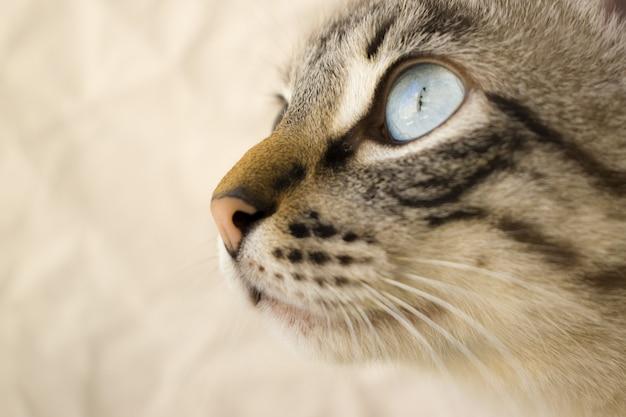 Tiro seletivo closeup de uma cabeça de gato cinza com olhos azuis, com um fundo desfocado