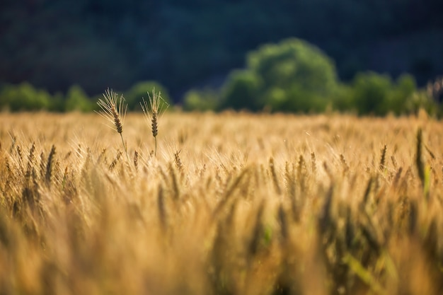 Tiro seletivo de trigo dourado em um campo de trigo