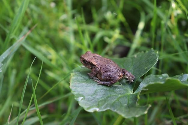 Tiro seletivo do close up de um sapo marrom em uma folha verde em um campo da grama