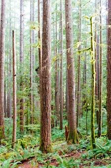 Tiro vertical da floresta nacional de gifford pinchot, perto da trilha de siouxon creek, em washington