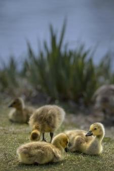 Tiro vertical de alguns patos em um campo coberto de grama por um lago