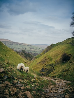 Tiro vertical de belas colinas verdes com um pequeno fluxo de água e navio pastando na grama