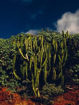 Tiro vertical de cactos cercado por plantas com céu azul escuro