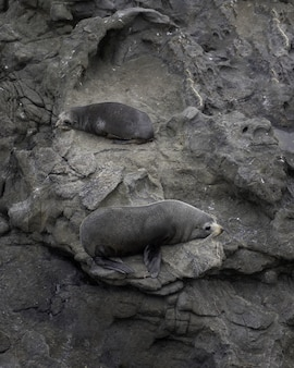 Tiro vertical de dois leões-marinhos fofos deitado sobre as rochas