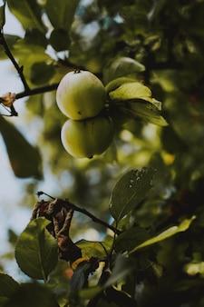 Tiro vertical de duas maçãs verdes em um galho de árvore