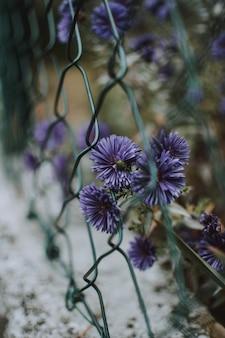 Tiro vertical de flores roxas áster perto de uma cerca encadeada com turva