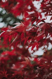 Tiro vertical de folhas vermelhas