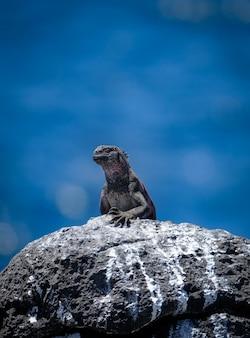 Tiro vertical de iguana marinha em pé sobre uma rocha