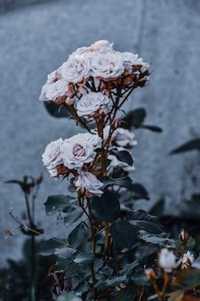 Tiro vertical de rosas brancas com fundo desfocado