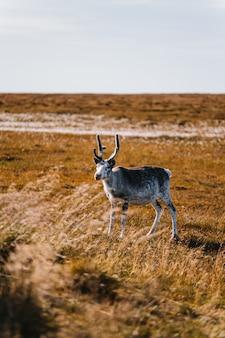 Tiro vertical de um animal branco e marrom em forma de cervo em um campo de trigo