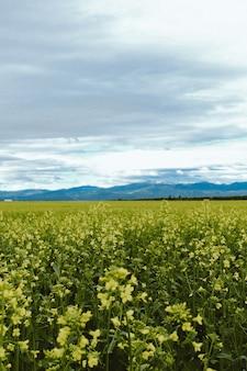 Tiro vertical de um campo de flores amarelas com uma montanha em kalispell montana eua