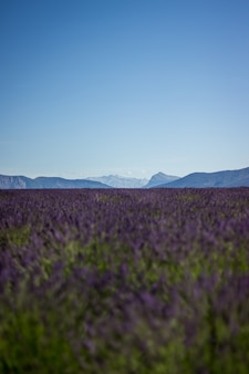Tiro vertical de um campo de lavanda roxo lindo com lindo céu calmo e colinas nas costas