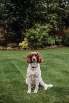 Tiro vertical de um cão branco e marrom com trela vermelha na grama verde