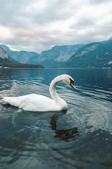 Tiro vertical de um cisne branco nadando no lago em hallstatt. áustria