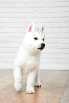 Tiro vertical de um filhote de cachorro husky siberiano fofo andando dentro de casa animais conceito de animais de estimação.