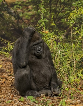 Tiro vertical de um gorila coçando a cabeça enquanto está sentado com uma floresta turva no fundo