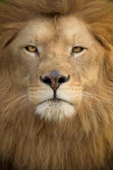 Tiro vertical de um leão magnífico