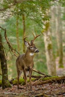 Tiro vertical de um lindo cervo em pé na floresta com fundo desfocado