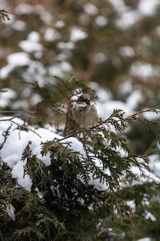 Tiro vertical de um pardal sentado em um galho de árvore coberto de neve