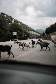 Tiro vertical de um rebanho de cabras atravessando a rua na zona rural