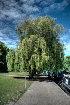 Tiro vertical de uma amoreira no parque em windsor, reino unido