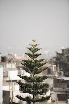 Tiro vertical de uma árvore de abeto com edifícios turva
