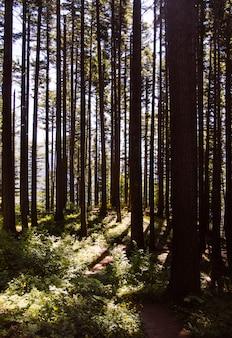 Tiro vertical de uma bela floresta com luz solar fina de árvores altas