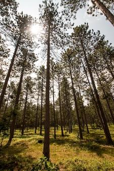 Tiro vertical de uma floresta com árvores altas e um sol brilhando através dos galhos