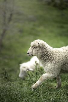 Tiro vertical de uma ovelha branca bonita na grama verde