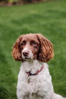 Tiro vertical do close up de um cão branco e marrom com a trela vermelha na grama verde