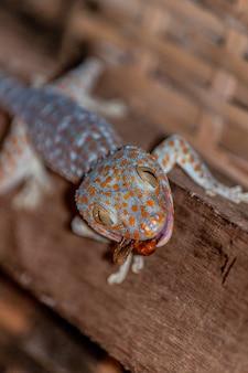 Tiro vertical do close up de um lagarto de colarinho comum que come uma libélula em uma superfície de madeira