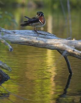 Tiro vertical do close up de um pato de madeira que está em uma árvore quebrada sobre a água