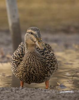 Tiro vertical do close up de um pato que está na água perto da costa com um borrado
