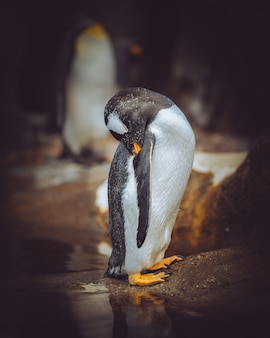Tiro vertical do close up de um pinguim que limpa seu auto com um fundo borrado