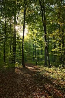Tiro vertical do forêt de soignes, bélgica, bruxelas, com o sol brilhando através dos galhos