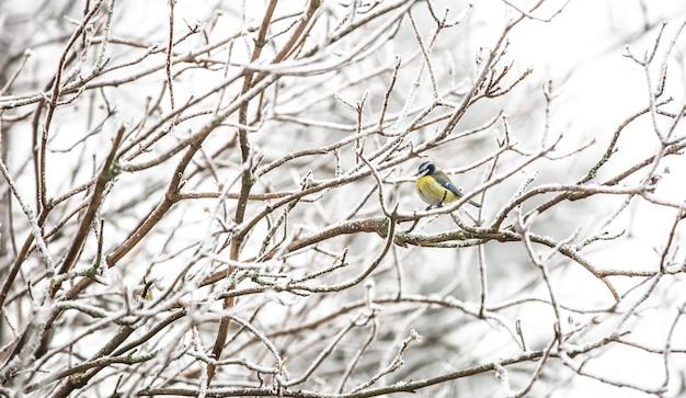 Tit, parus no galho da árvore procurando comida para pássaros durante o inverno