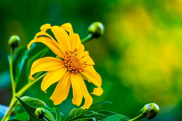 Tithonia diversifolia. flor amarela do tong de bua em doi hua mae kham em chiang rai, tailândia.