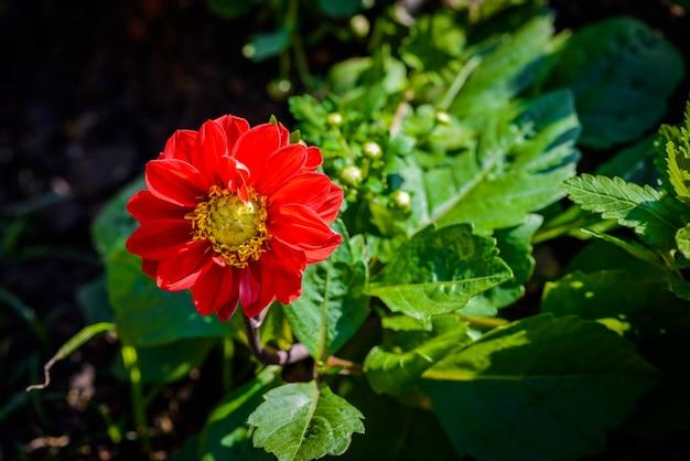 Tithonia rotundifolia vermelho