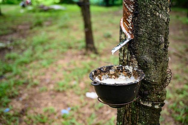 Tocando a seringueira de látex, látex de borracha extraído da seringueira, colheita na tailândia.