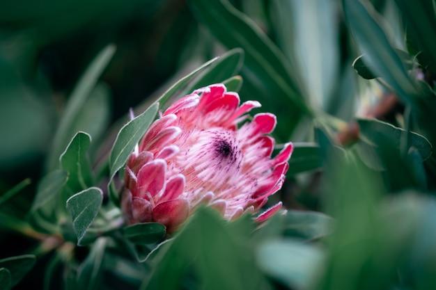 Tocha vermelha flor tropical de gengibre