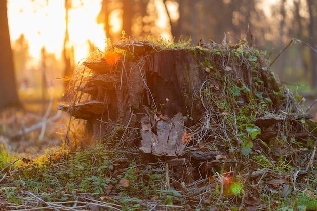 Toco de árvore bonita com musgo, cogumelos e folhas. manhã de sol ou vista por do sol