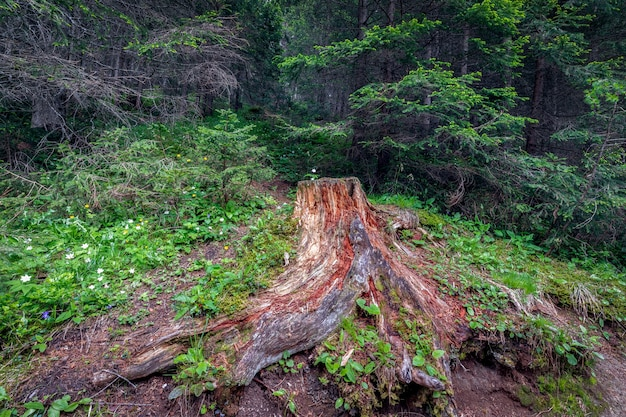 Toco de árvore pitoresco em uma clareira na floresta com flores em uma floresta densa