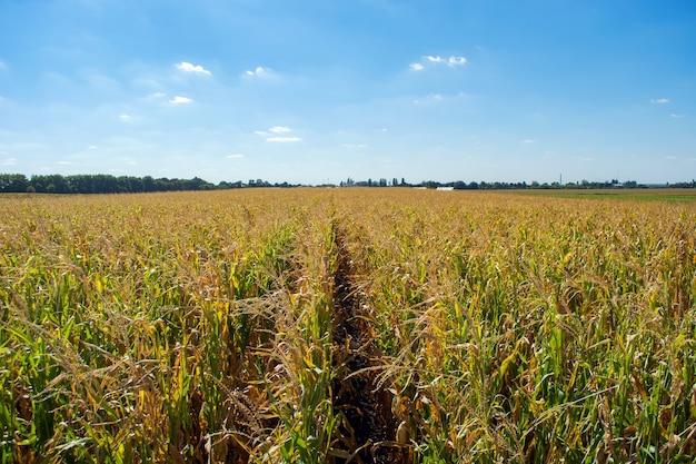 Toco de milho cheio de grãos no campo.