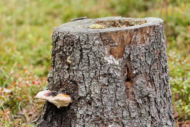 Toco de um pinheiro com um cogumelo lenhoso em um fundo de grama. toco de árvore em uma clareira